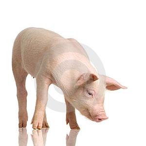 cerdo[1]